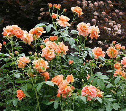 Rose at last white flower farm rose at last mightylinksfo