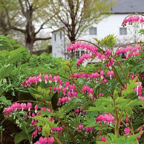 Dicentra Spectabilis White Flower Farm