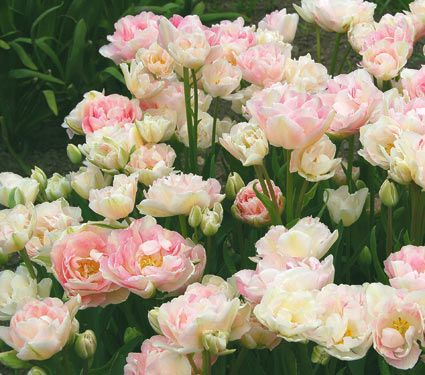 Tulip Angelique White Flower Farm